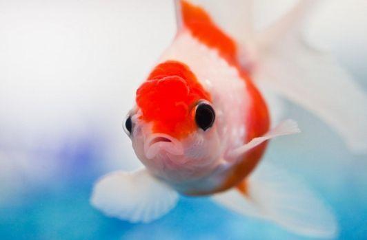 第155回 ★ 「金魚」